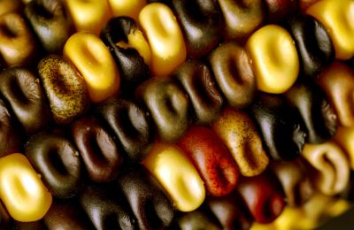 Maize kernels with different colors