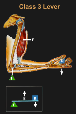 Human arm as a class 3 lever