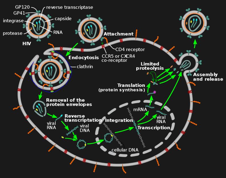 HIV retrovirus replication cycle
