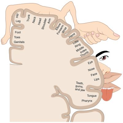 Homunculus: sensory mapping on our brain