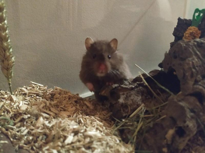 Hamster Goes on Virtual Journey