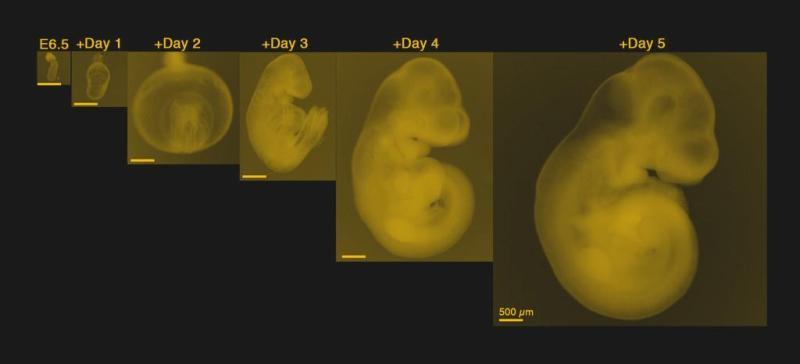 Mice Develop Inside an Artificial Womb