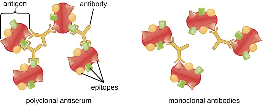 Polyclonal vs monoclonal antibodies