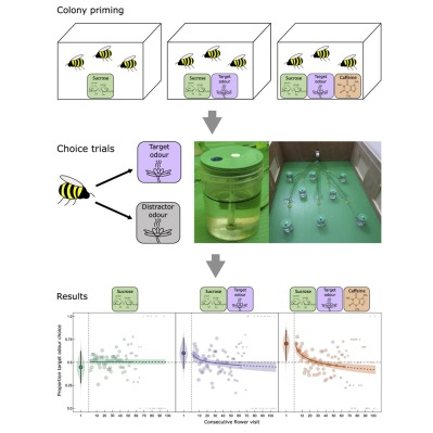 Priming, trials, and results of giving bees caffeinated sugar water in an attempt to keep them on task.