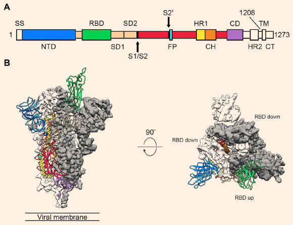 Structure of SARS-CoV-2 spike protein, showing receptor binding domain (RBD)